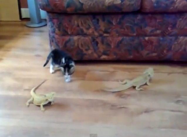 CatKittenvs Lizard