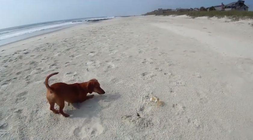 dog-vs-crab