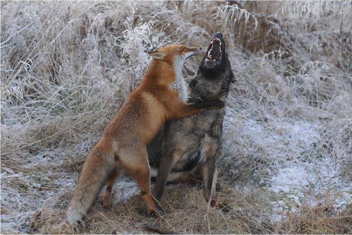 犬とキツネの友情が素敵すぎる!!