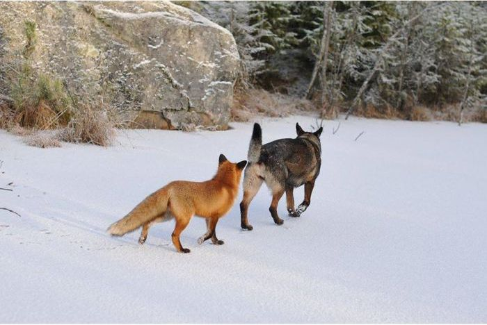 fox_and_dog_10