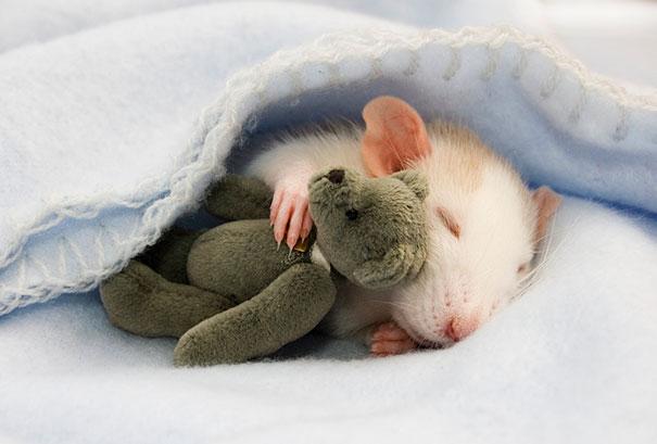 Rats-Teddy (1)